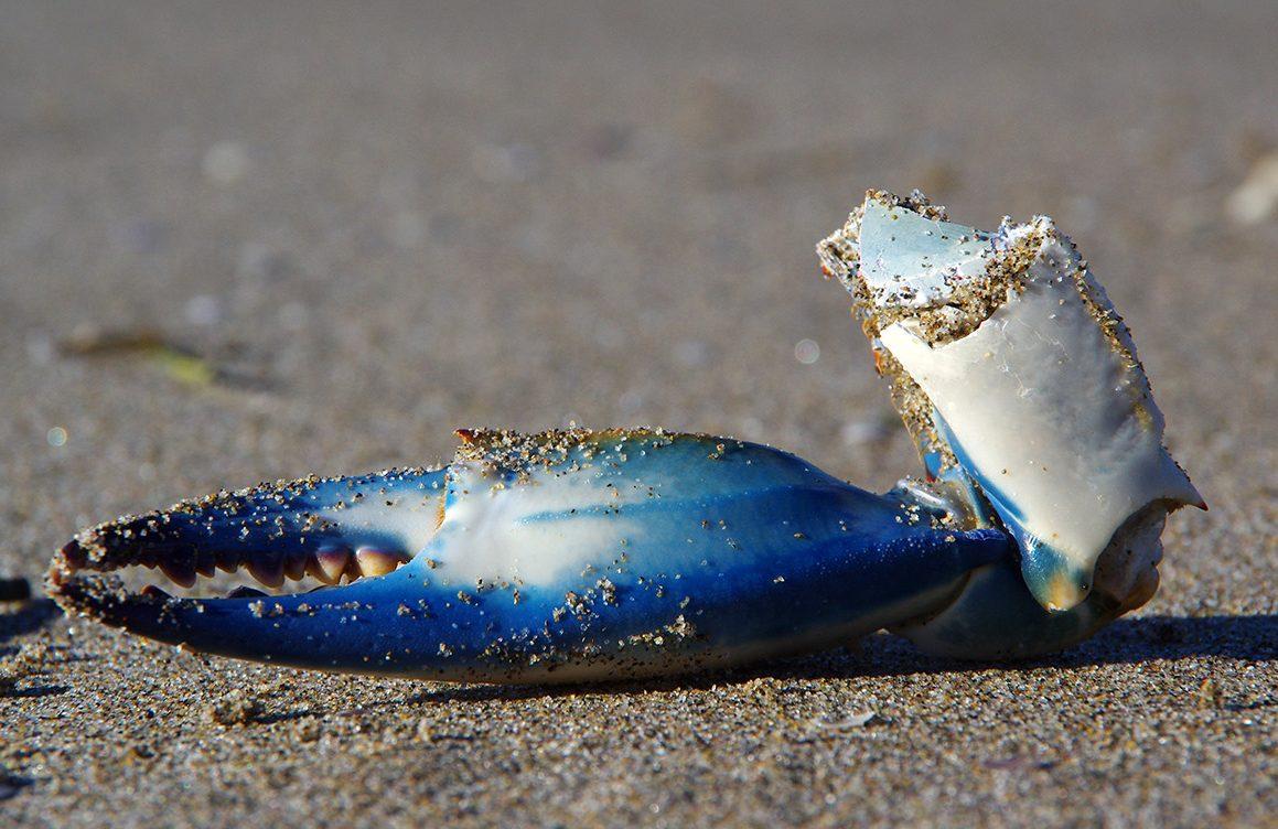 Crabe bleu - Calinectes sapidus - Delta de l'Ebre - Crabe Delta de l'Ebre - Crabe bleu Delta de l'Ebre - Espèce invasive Méditerranée