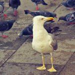 Venise - Pigeon Venise - Mouette