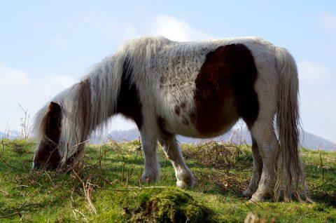 Le Pottok d'Oiartzun - pays basque sud - petit cheval Espagne