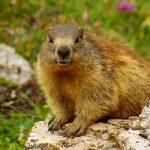 Marmote - Marmote Dolomites - Refuge de Pian di Cengia - Dolomites - Marmote Italie