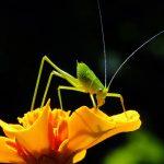 méconème fragile méditerranée - petite sauterelle verte des villes - orthoptère - petite sauterelle verte grande patte - insecte hérault