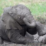 bébé éléphant -elephant - éléphant masai mara - kenya - masaï mara - rift valley - melting pot safari - protection des animaux