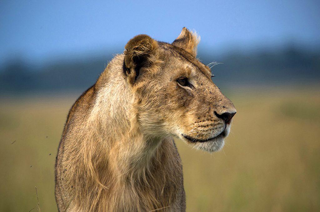 Pentax K5II -lionne - crinière - lion masai mara - kenya - masaï mara - rift valley - melting pot safari - protection des animaux - workshop Laurent Baheux