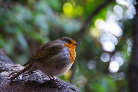 Pentax K5II - rouge-gorge - oiseau - pit-roig - ocell - montserrat - catalunya - catalogne - barcelona