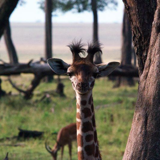 wildlife - vie sauvage -Pentax K5II - masai mara - kenya - masaï mara - rift valley - melting pot safari - protection des animaux - workshop Laurent Baheux - girafon - girafe
