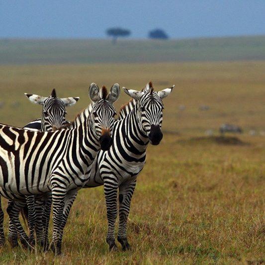 wildlife - vie sauvage -Pentax K5II - masai mara - kenya - masaï mara - rift valley - melting pot safari - protection des animaux - workshop Laurent Baheux - zèbre