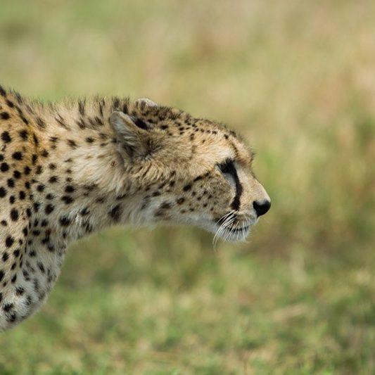 wildlife - vie sauvage -Pentax K5II - masai mara - kenya - masaï mara - rift valley - melting pot safari - protection des animaux - workshop Laurent Baheux - guépard - félin