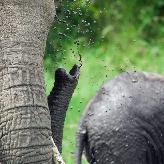 Elephant - wildlife - vie sauvage -Pentax K5II - masai mara - kenya - masaï mara - rift valley - melting pot safari - protection des animaux - workshop Laurent Baheux