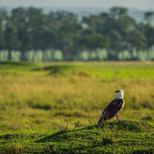 wildlife - vie sauvage -Pentax K5II - masai mara - kenya - masaï mara - rift valley - melting pot safari - protection des animaux - workshop Laurent Baheux - aigle - rapace