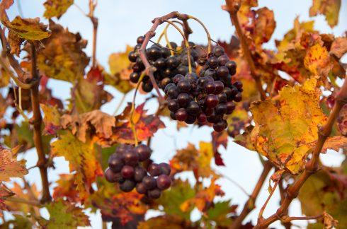 Fleur - Popian - ambiance -ruralité - couleur automnale - hérault tourisme - occitanie - vigne