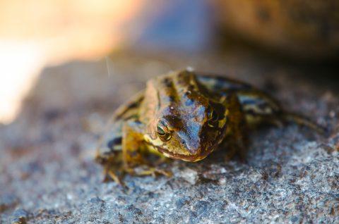 Amphibien - grenouille - batracien - Hautes pyrénées - Massif de Néouvielle - Vallée d'Aure