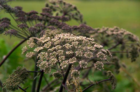 Aude - été - Fanjeaux - fleur - nature - ambiance - tourisme - pourpre
