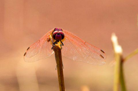 Libellule - Trithemis - Insecte - lac du sapajou - hérault tourisme - occitanie - pourpre